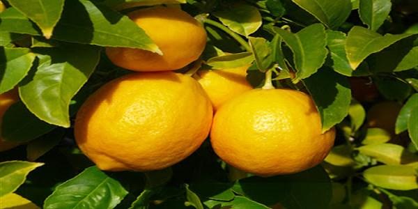 lemon-juice-benefits (600 x 300)