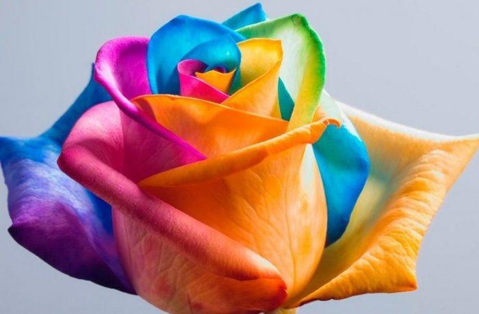 τριαντάφυλλα στα χρώματα του ουράνιου τόξου 9