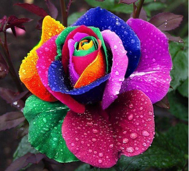 τριαντάφυλλα στα χρώματα του ουράνιου τόξου 8
