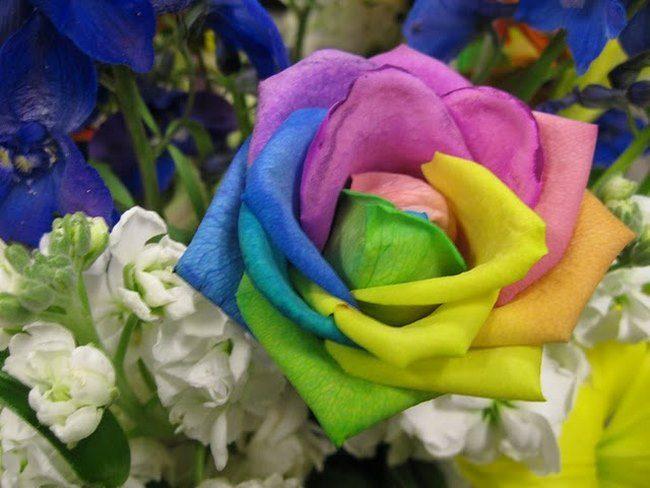 τριαντάφυλλα στα χρώματα του ουράνιου τόξου 7