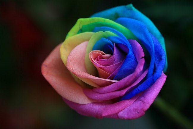 τριαντάφυλλα στα χρώματα του ουράνιου τόξου 2