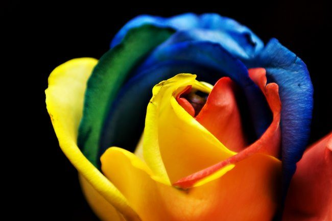 τριαντάφυλλα στα χρώματα του ουράνιου τόξου 3