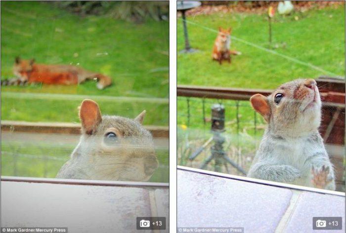 Σκίουρος χτυπάει το τζάμι 3