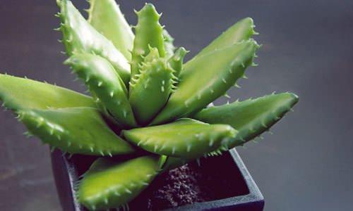Αυτά Είναι τα Φυτά που δεν Θέλουν Καθόλου Πότισμα! 3