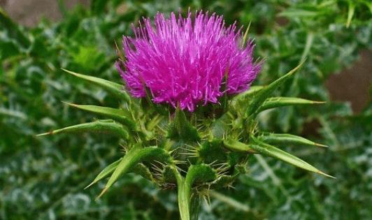 Αποτοξίνωση στο πάγκρεας με φαρμακευτικά φυτά 6