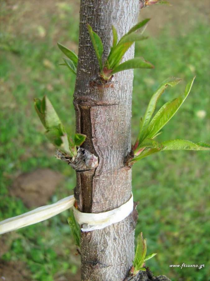 Σε ποια δέντρα κεντρώνουμε και τι. Πως και πότε γίνεται 4