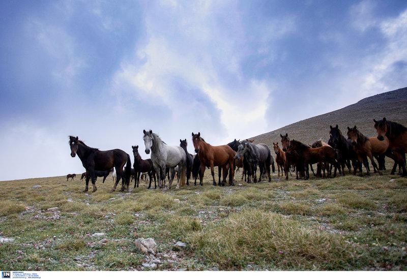 Ζουν και πολλαπλασιάζονται, ελεύθερα και άγρια πλέον, στις βουνοκορφές του Ολύμπου