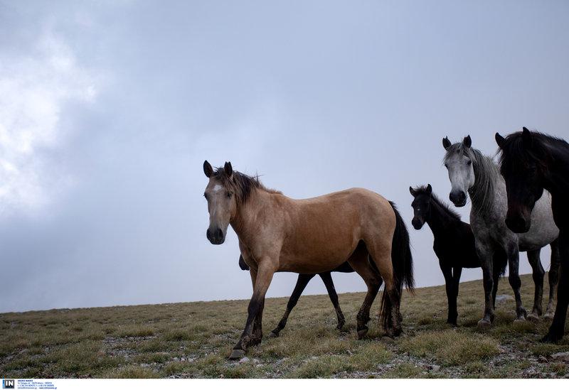 Εντυπωσιακά και πανέμορφα τα άγρια άλογα του Ολύμπου